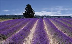 lavendar fields essential oils